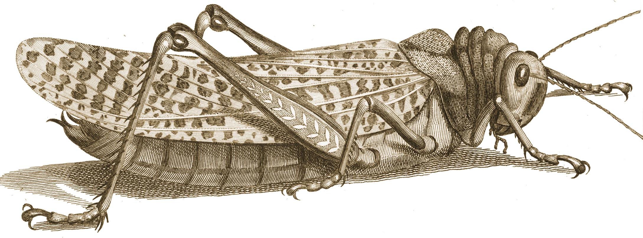 PNG Locust-PlusPNG.com-2178 - PNG Locust