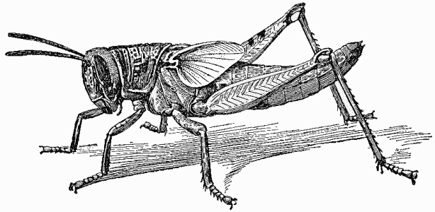 File:Nymph of Locust - Project Gutenberg eText 16410.png - PNG Locust