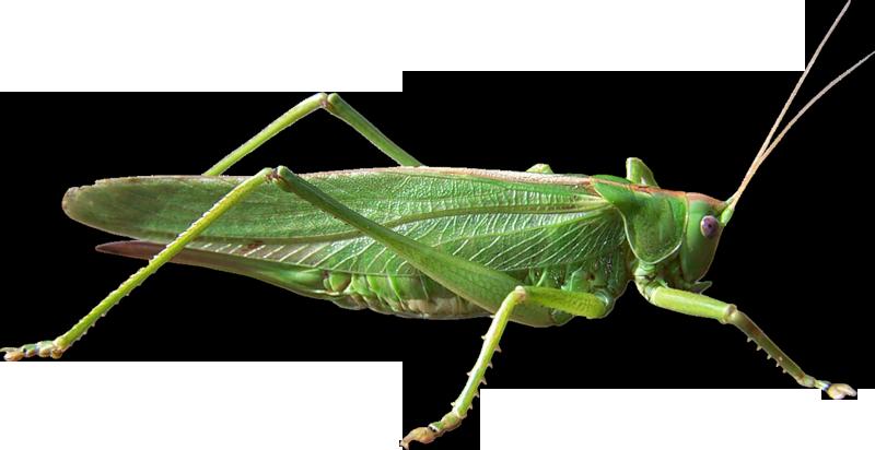 Grasshopper PNG - PNG Locust