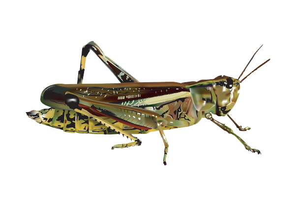 Grasshopper PNG Image - PNG Locust