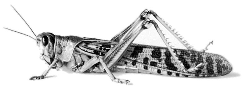 Locust - PNG Locust