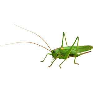 PNG-Clipart-Locust.png (1000×472) - PNG Locust