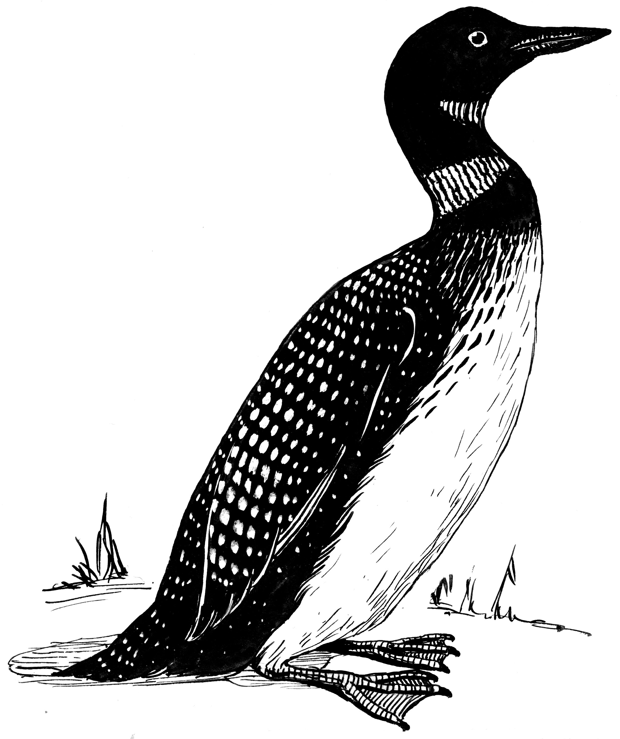 File:Loon (PSF).png - PNG Loon