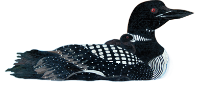 loon-cutout.png PlusPng.com  - PNG Loon