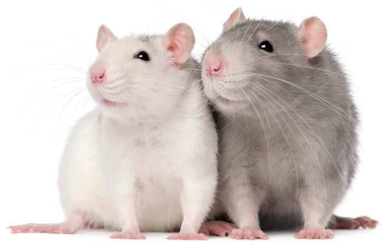 Transparent mouse animal