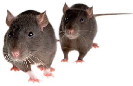 PNG Mice