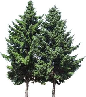 PNG Nadelbaum - 44623