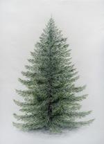 PNG Nadelbaum - 44626