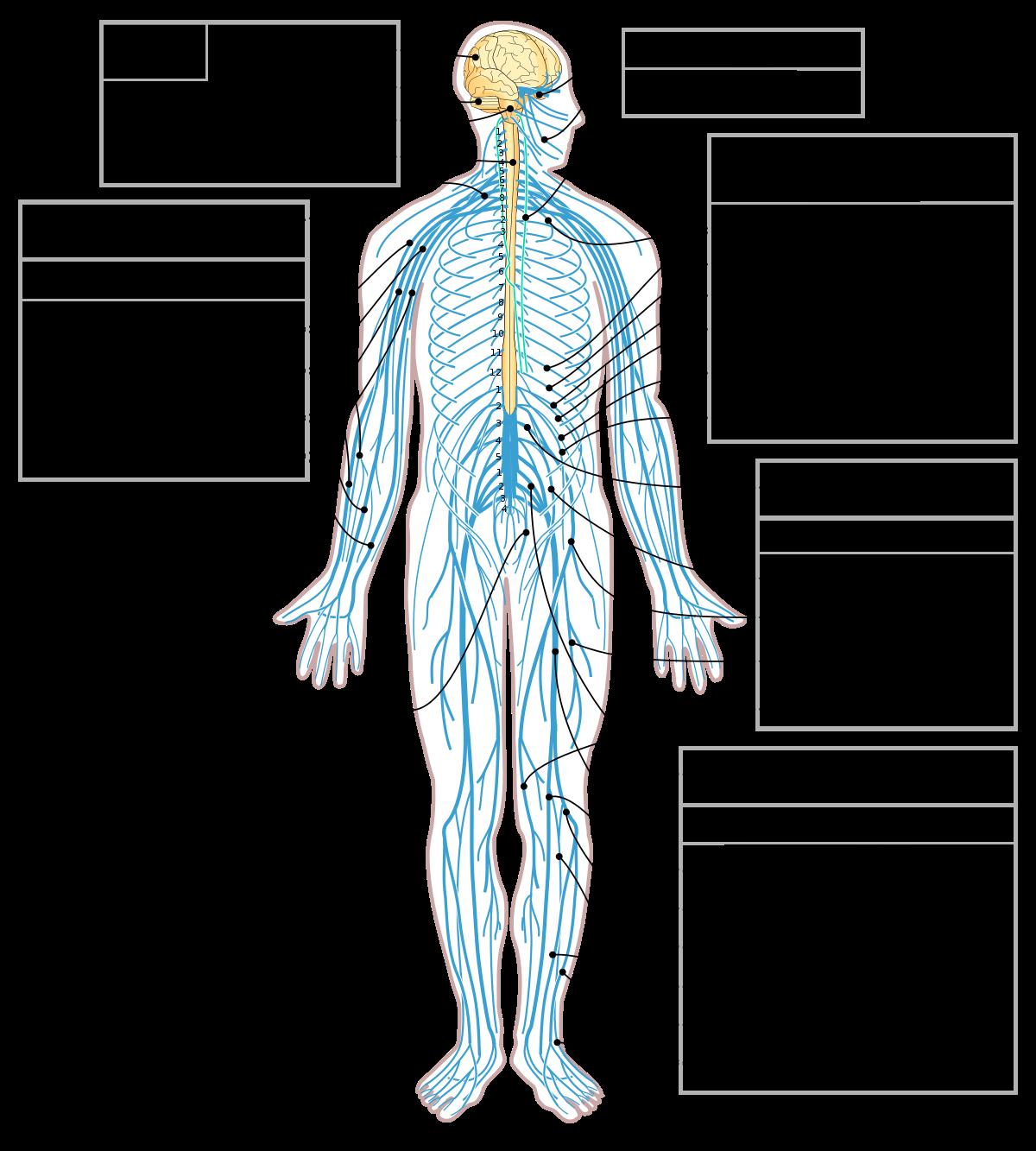 PNG Nervous System-PlusPNG.com-1200 - PNG Nervous System