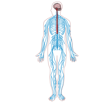 Central and Peripheral Nervous Systems - PNG Nervous System