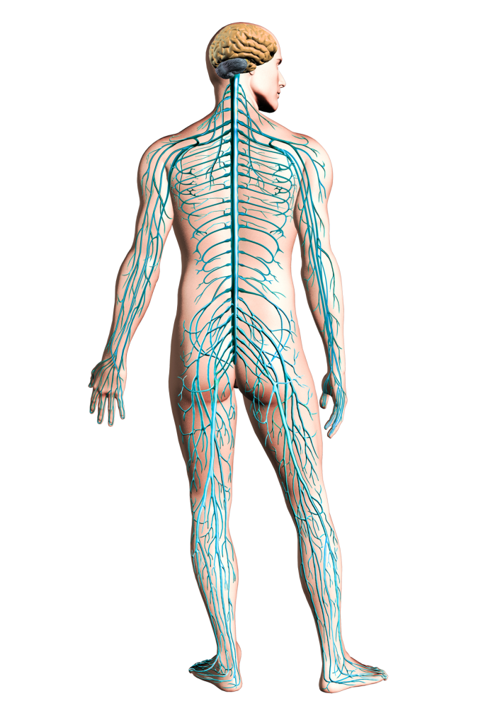 Command Center: Your u0027Nerve Systemu0027 is a multi-faceted, intricately complex  rabbit warren of nerves that supply everything in your amazing body. - PNG Nervous System