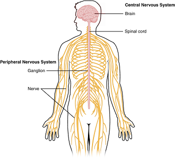 Diagram of the central and peripheral nervous systems. - PNG Nervous System