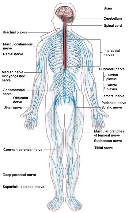 File:Nervous system diagram.png - PNG Nervous System