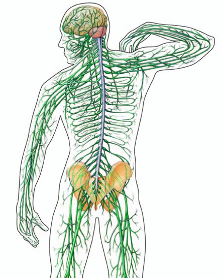 Nervous Clipart - PNG Nervous System