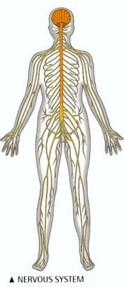 Nervous system controls and regulates the work of all body parts, from  simple finger movement till very complex heartbeat - PNG Nervous System