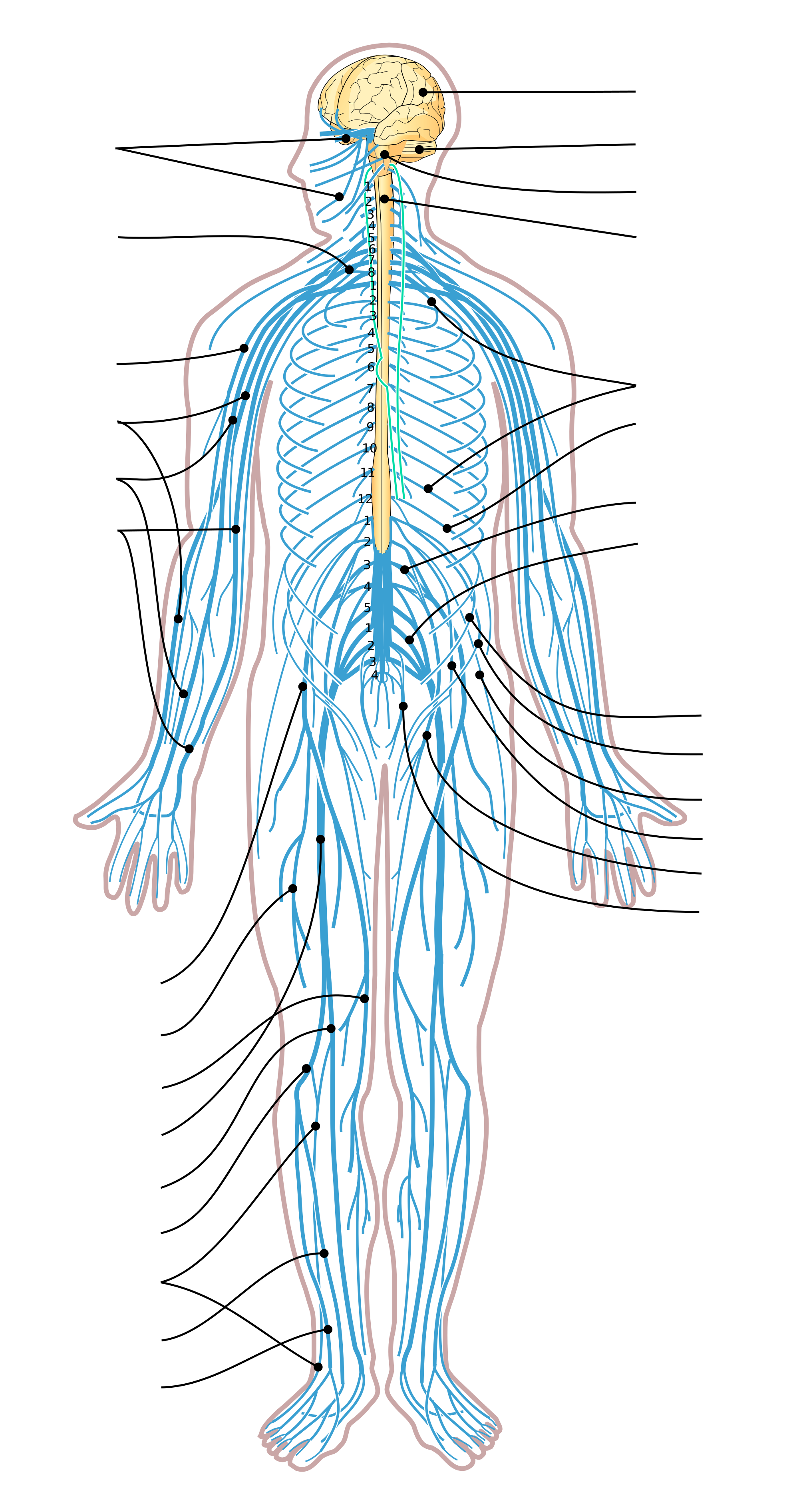 Png Nervous System Transparent Nervous Systemg Images Pluspng
