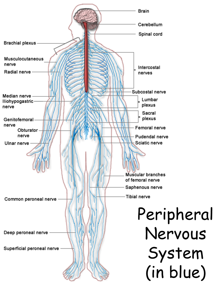 Peripheral Nervous System (in blue) - PNG Nervous System