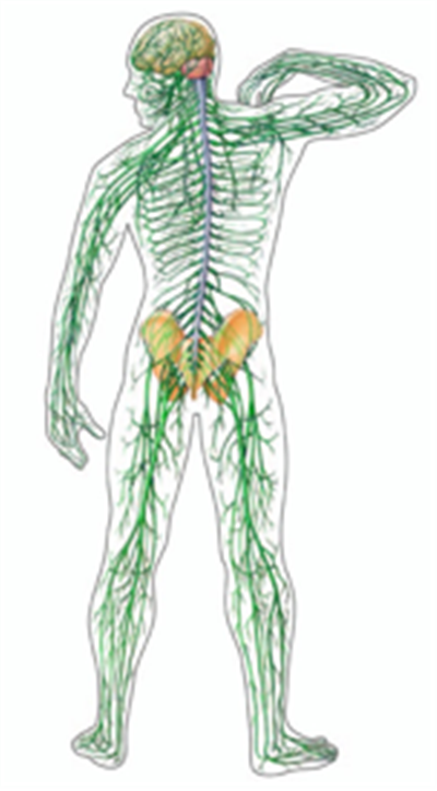 The nervous system is a phenomenal example of the brilliance of human  evolution and u0027internal engineeringu0027. Simply logging on to the MP website  involved PlusPng.com  - PNG Nervous System