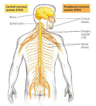 The Nervous System. Screen_shot_2011-03-20_at_10.38.29_AM.png - PNG Nervous System