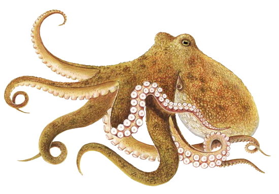 Octopus Free Download PNG - PNG Octopus Free