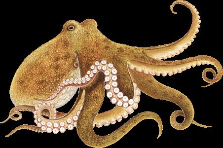 Octopus - PNG Octopus