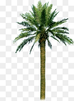 palm tree, Palm Tree, Sandy Beach, Palm PNG and PSD - PNG Of A Palm Tree