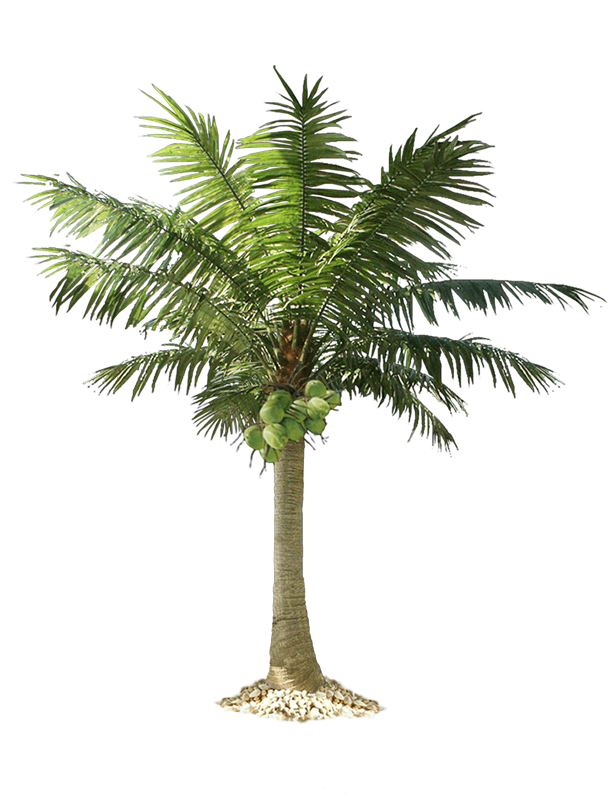 Palm Tree Png PNG Image - PNG Of A Palm Tree