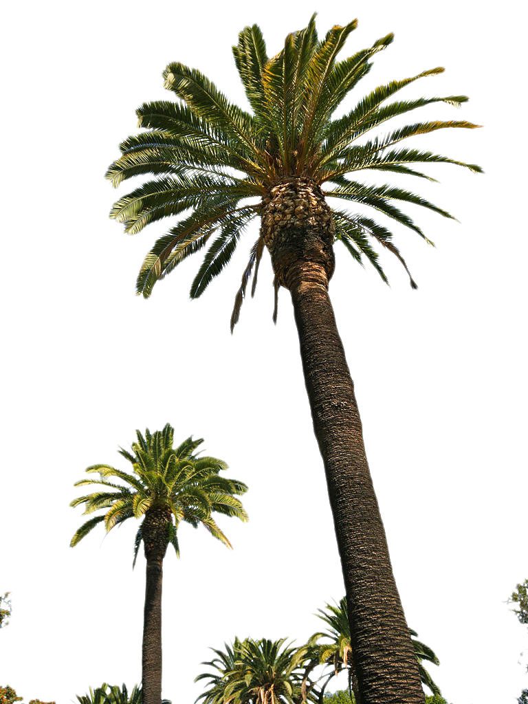 Palm Tree Tube Stock II PNG by digitaltwist PlusPng.com  - PNG Of A Palm Tree