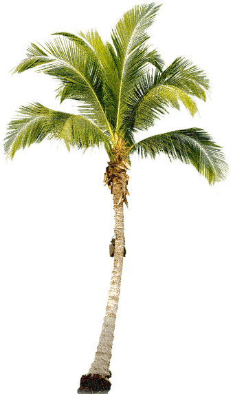 Tropical Palm Tree Png PNG Image - PNG Of A Palm Tree
