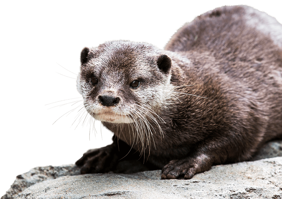 PNG Otter - 72757