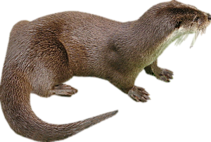 PNG Otter - 72750