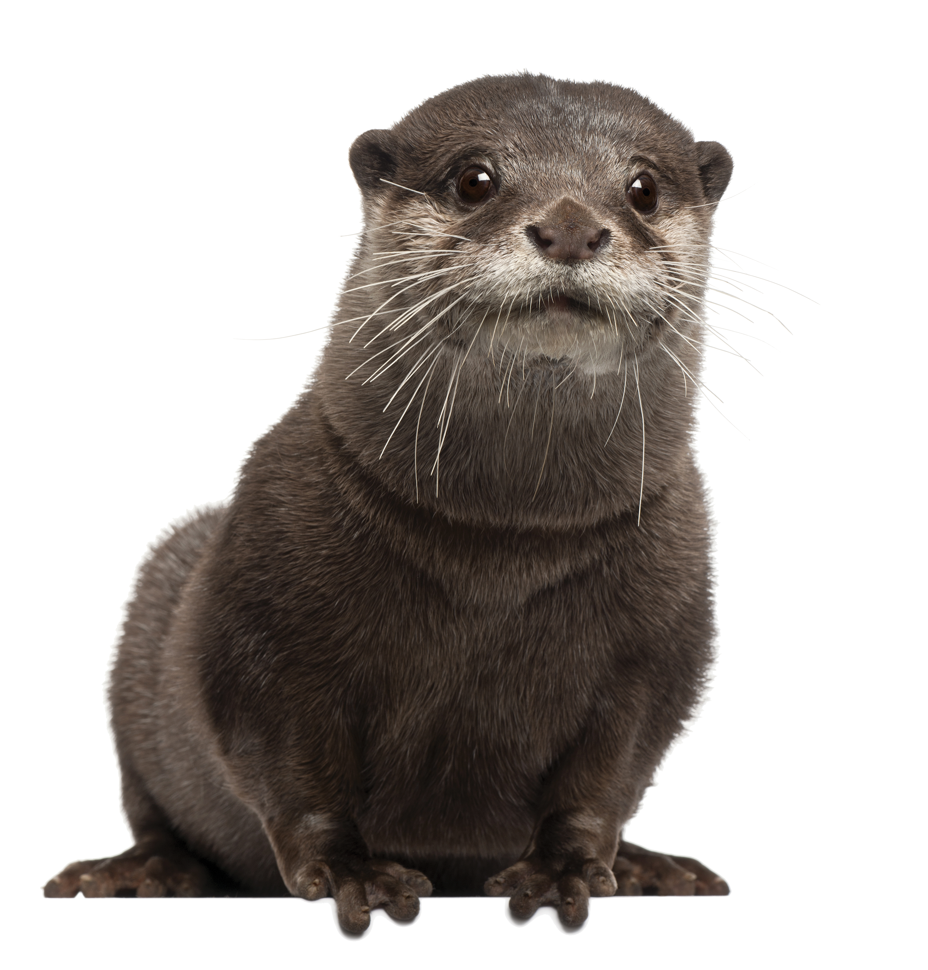 PNG Otter - 72749