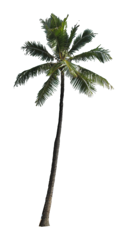 File:Palm-Tree-PNG-Image.png - PNG Palm Tree