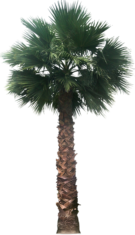 PNG Palm Tree Free - 71682