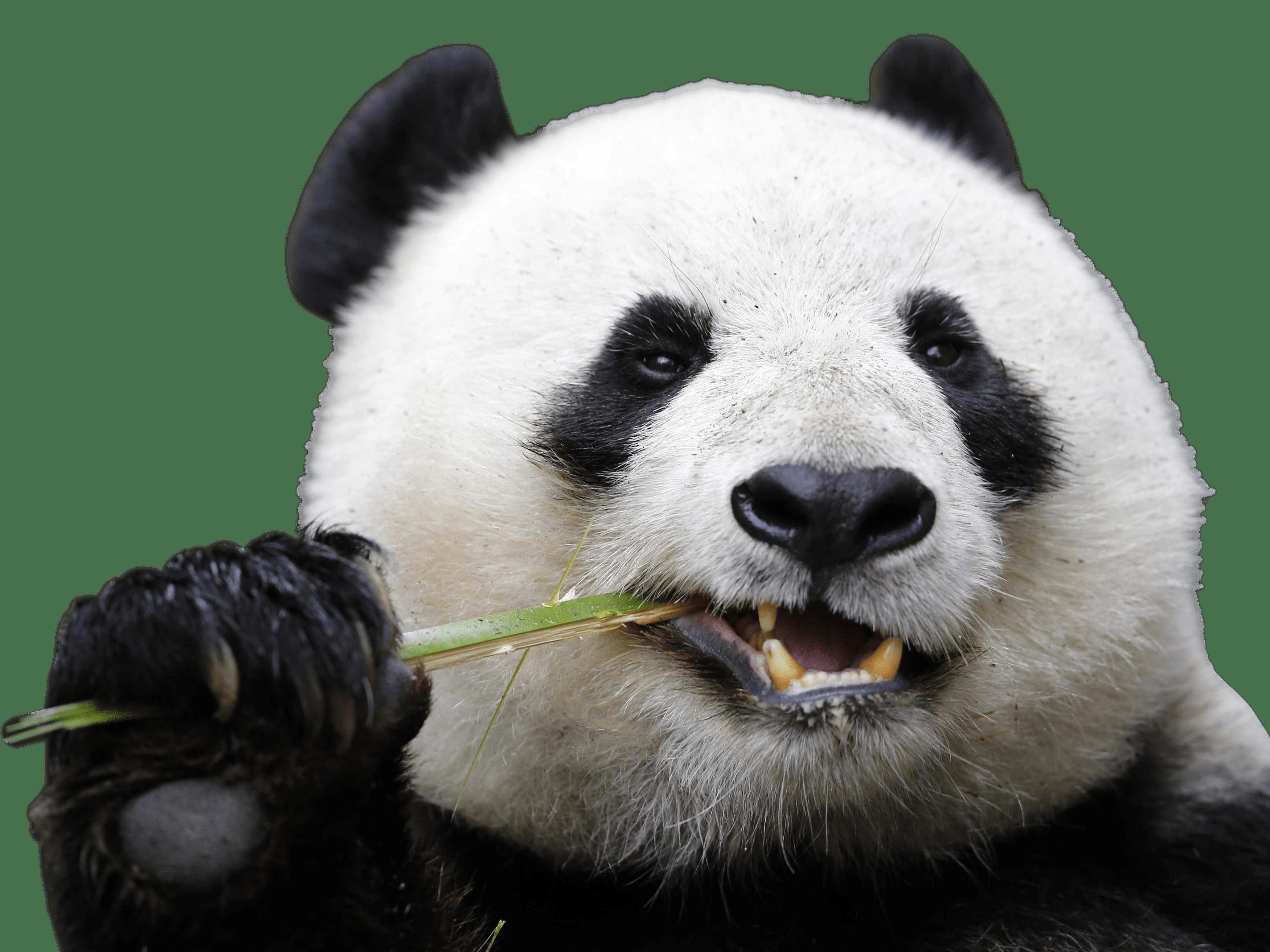 PNG Panda - 73319