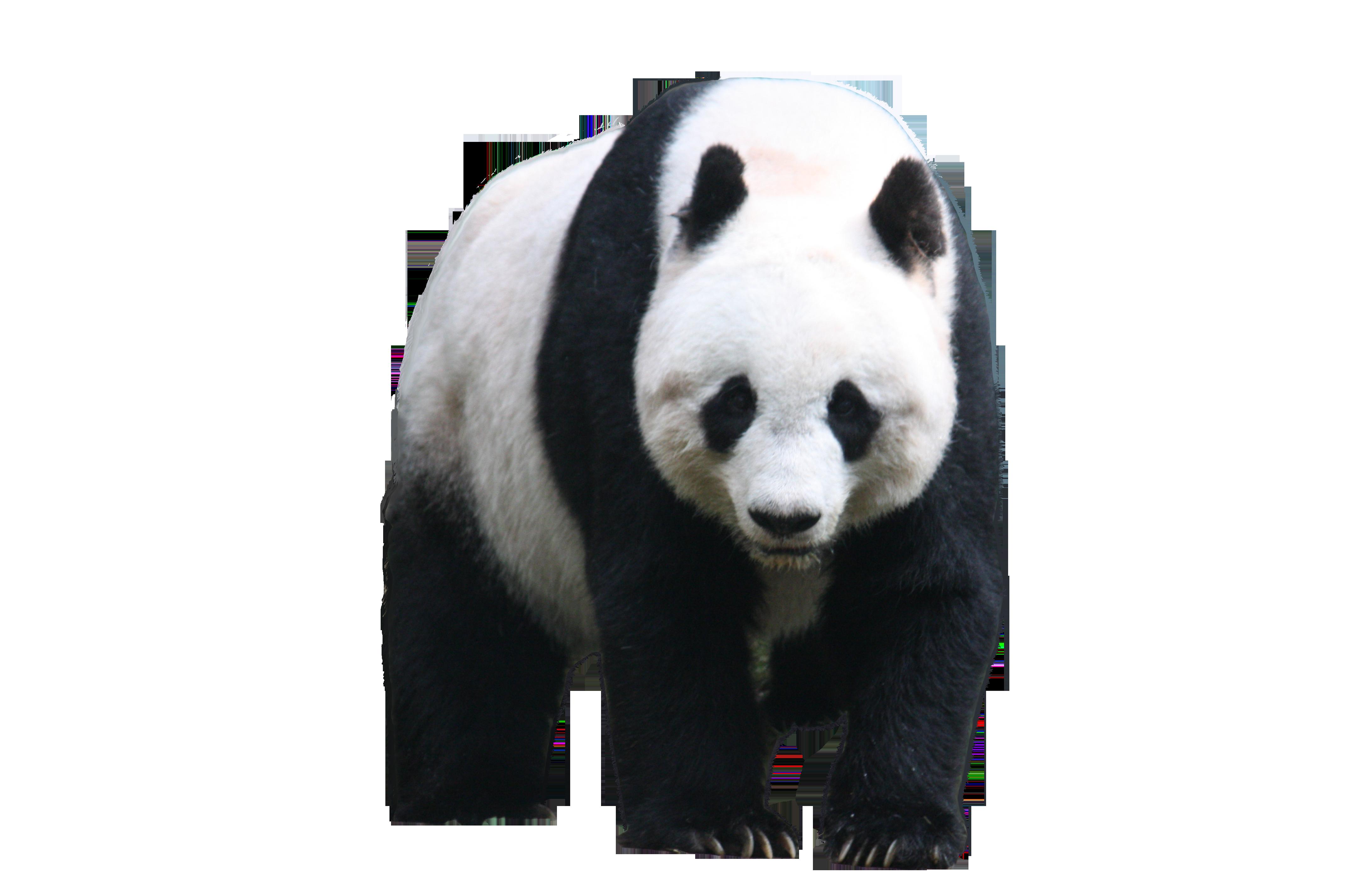 Panda PNG - PNG Panda