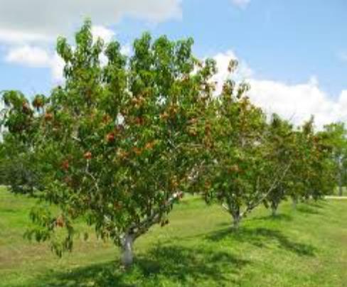 PNG Peach Tree - 164234