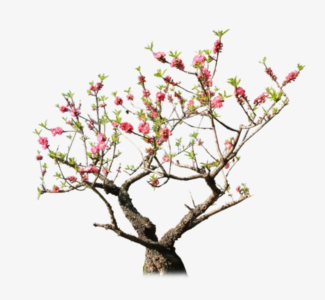 PNG Peach Tree - 164225