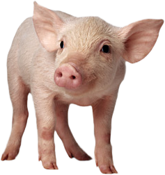 pig PNG image - PNG Piglet