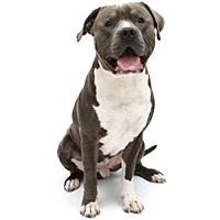 About the American Pit Bull Terrier - PNG Pitbull