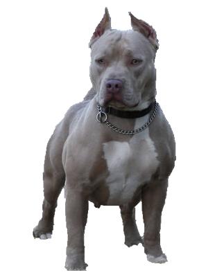 Boxer, Boerboel, American Pitbull Terrier - PNG Pitbull