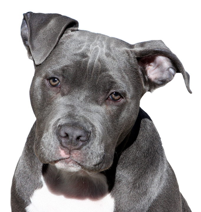 Dog, Pitbull, Terrier, American Staffordshire, Face - PNG Pitbull
