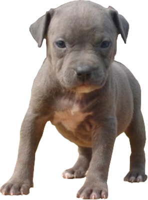 Free Blue Pitbull Puppies | PSD Detail | Blue Pitbull Puppy | Official PSDs - PNG Pitbull