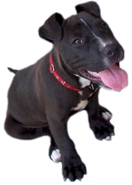 good pit bull puppy - PNG Pitbull