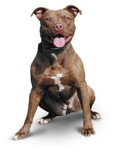 The New Castle County American Pitbull Terrier Challenge. - PNG Pitbull