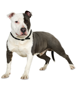 What do you need to know before you adopt a Pit Bull? We asked the experts! - PNG Pitbull
