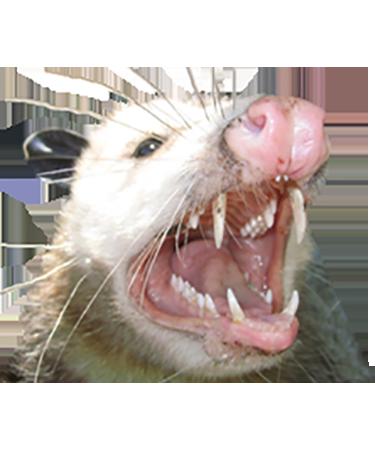 PNG Possum-PlusPNG.com-375 - PNG Possum
