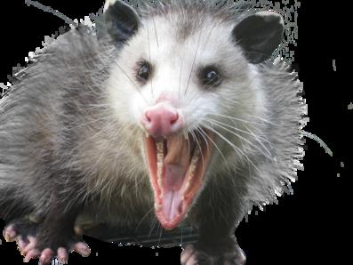 PNG Possum - 71596