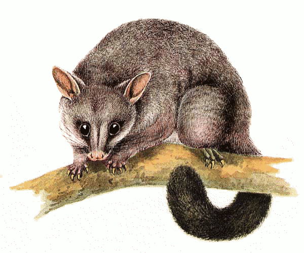 Common brushtail possum Trichosurus vulpecula - /animals/P/possum /Common_brushtail_possum__Trichosurus_vulpecula.png.html - PNG Possum