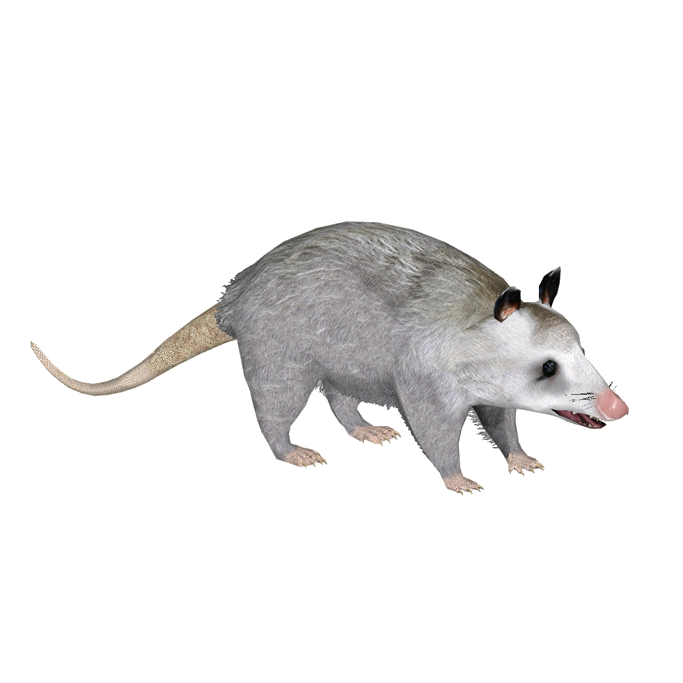 Common Opossum (Raulfpv)Y.png - PNG Possum